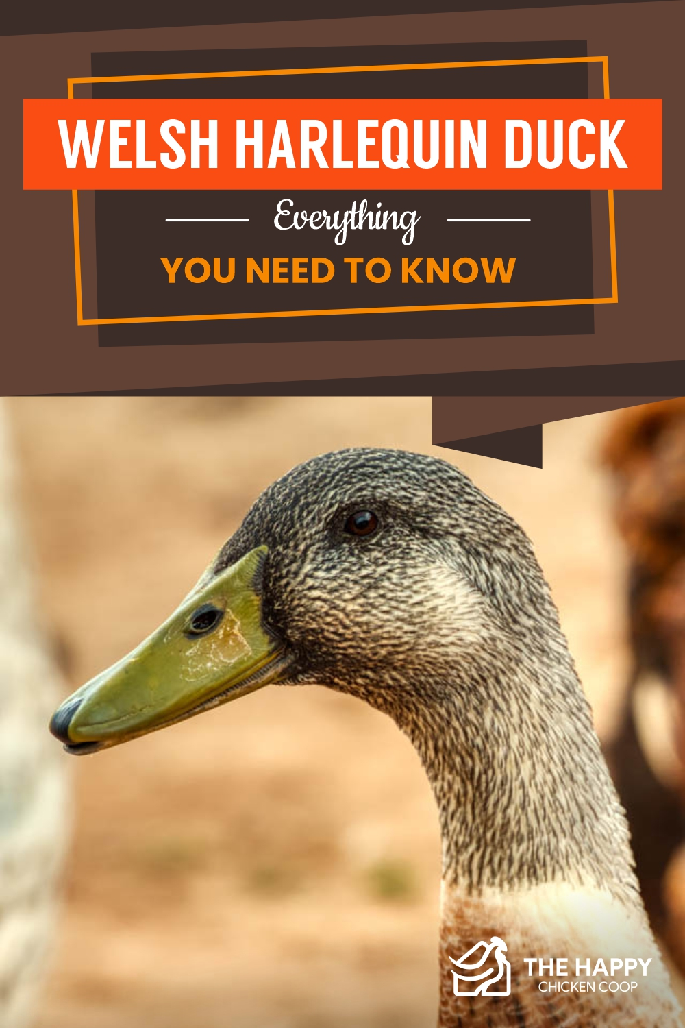 Welsh Harlequin Duck- Everything You Need To Know