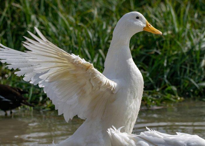 pekin duck flaps wings