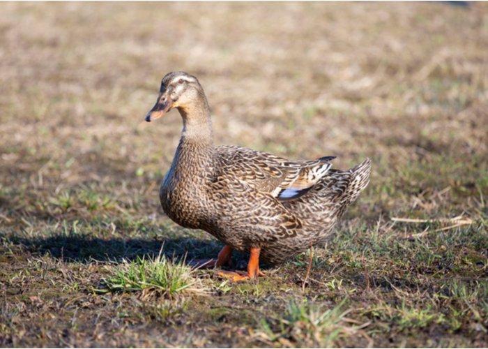 rouen duck breed