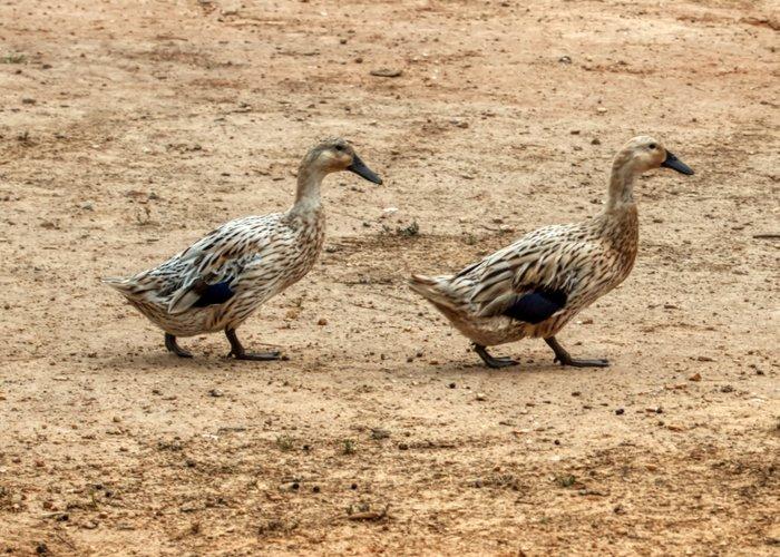 welsh harlequin ducks in run