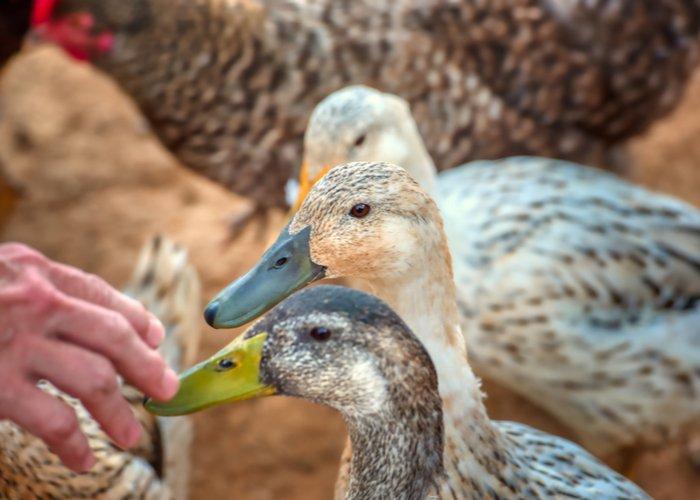 farmer feeding welsh harlequin ducks