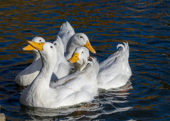 pekin duck flock