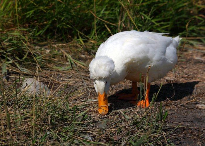 pekin duck foraging
