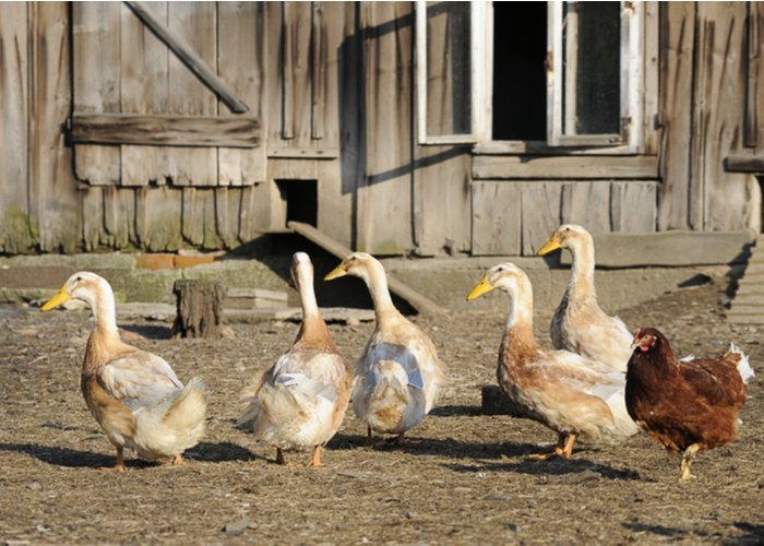 ducks walking around in run