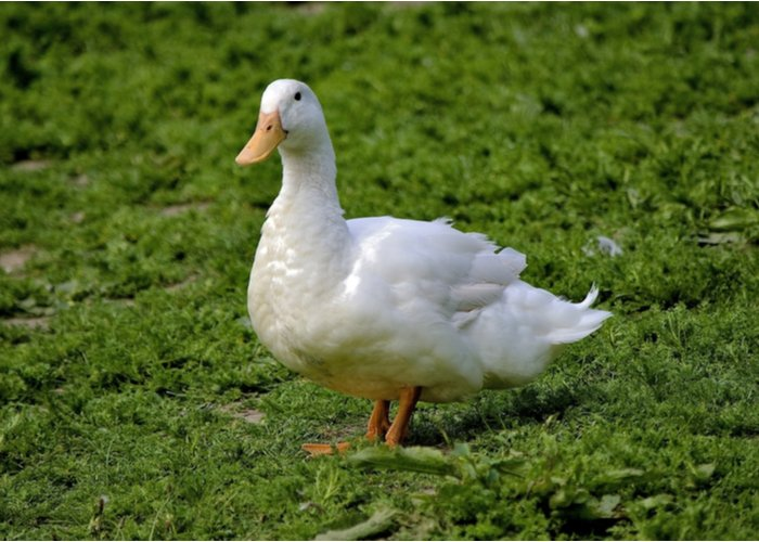 ayesbury duck breed