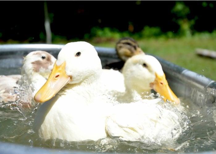 ducks in a steel tub