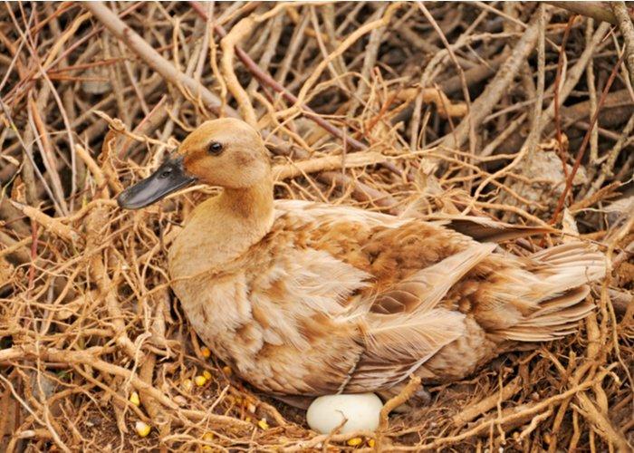 duck hen protecting eggs