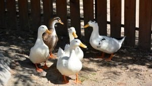 10 Best Books for Raising Ducks