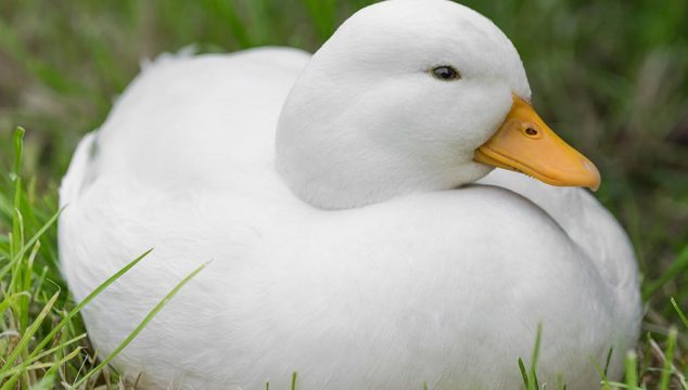 5 Best Small Duck Breeds To Own