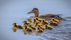 Caring For Ducklings In The Winter