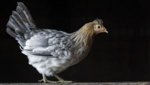Icelandic Chickens: Everything You Need To Know