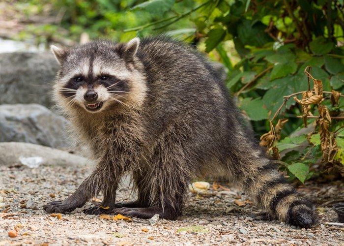raccoon feeling threatened