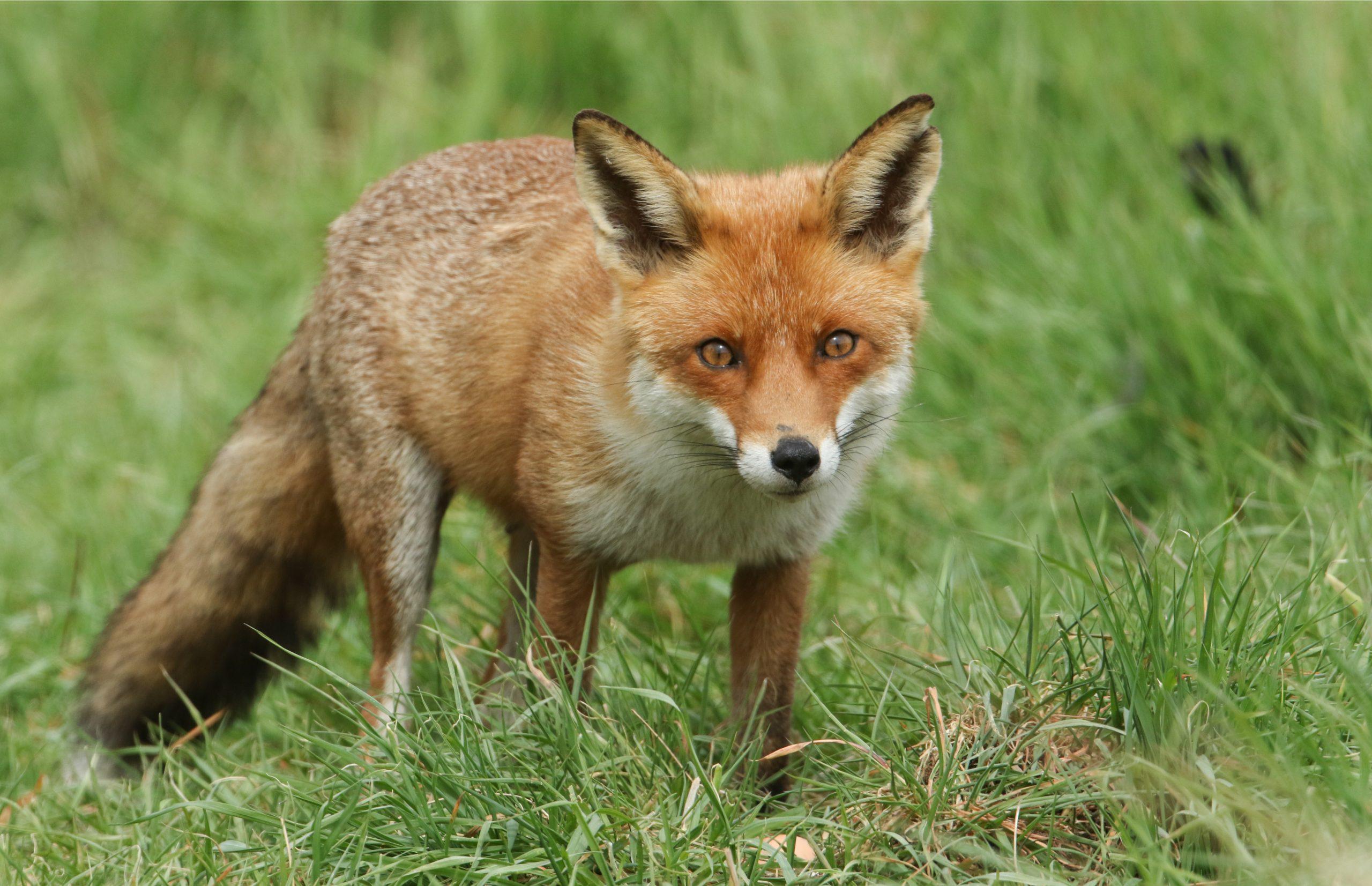 fox stalking its prey