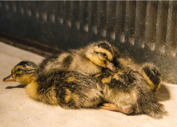 ducklings sitting in brooder