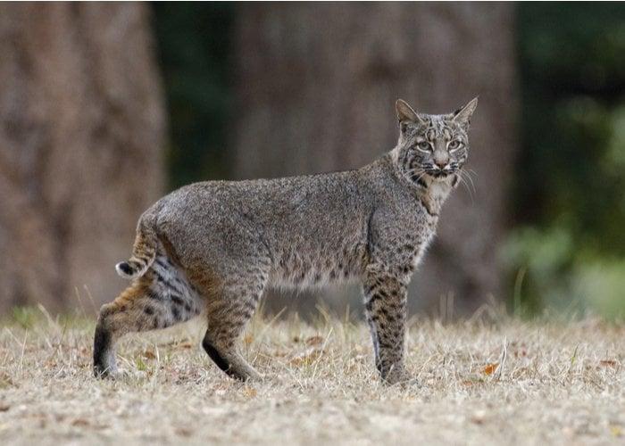 bobcat walking in a field