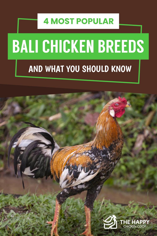 Bali Chicken Breed
