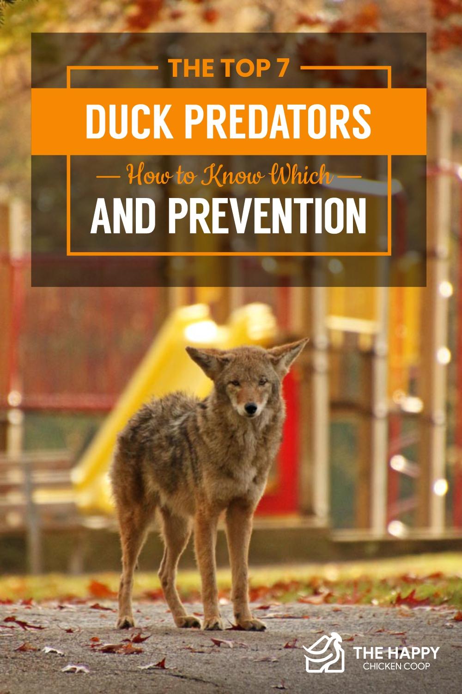 Duck Predators