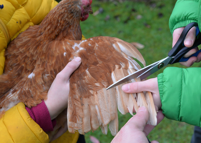 Clipping Chicken Wings and Other Things to Consider