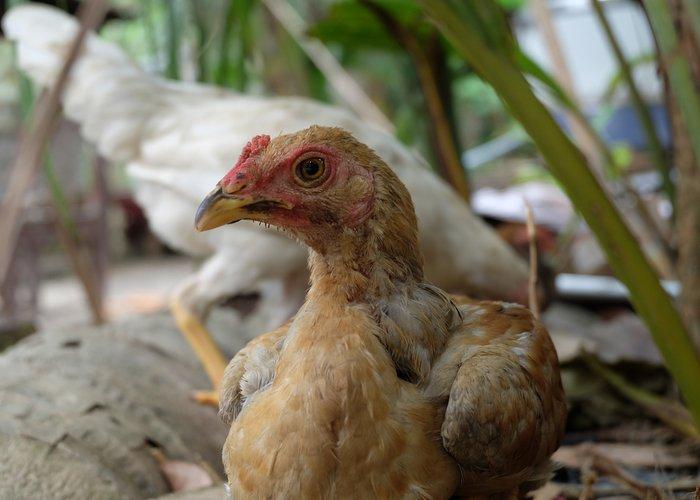 ayam kampong bali chicken breeds