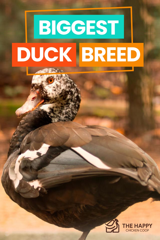 Biggest Duck Breed