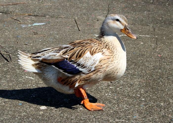 biggest duck breed Silver Appleyard