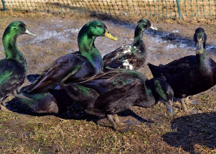 biggest duck breeds Cayuga
