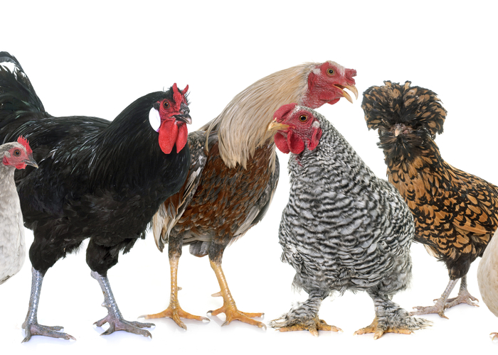 Grey Chicken Breeds