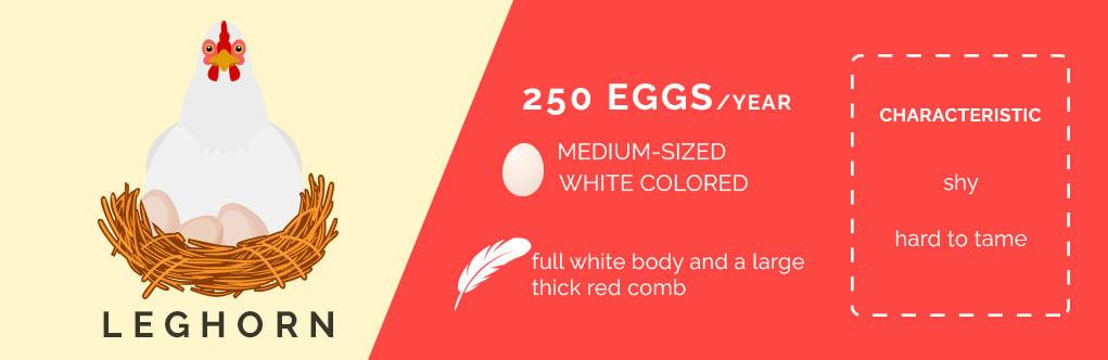 leghorn chicken, chicken breeds that lay lots of eggs