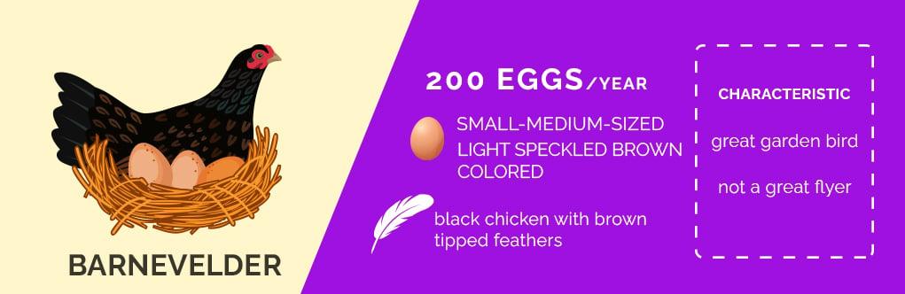 barnevelder chicken,chicken breeds that lay lots of eggs