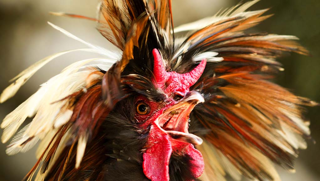 Chicken Noises- How to Understand What They Mean