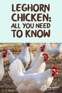 Leghorn Chicken- All You Need To Know