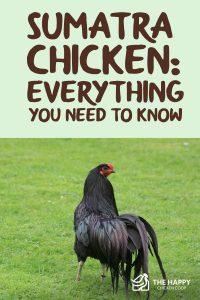 Sumatra Chicken- Everything You Need To Know