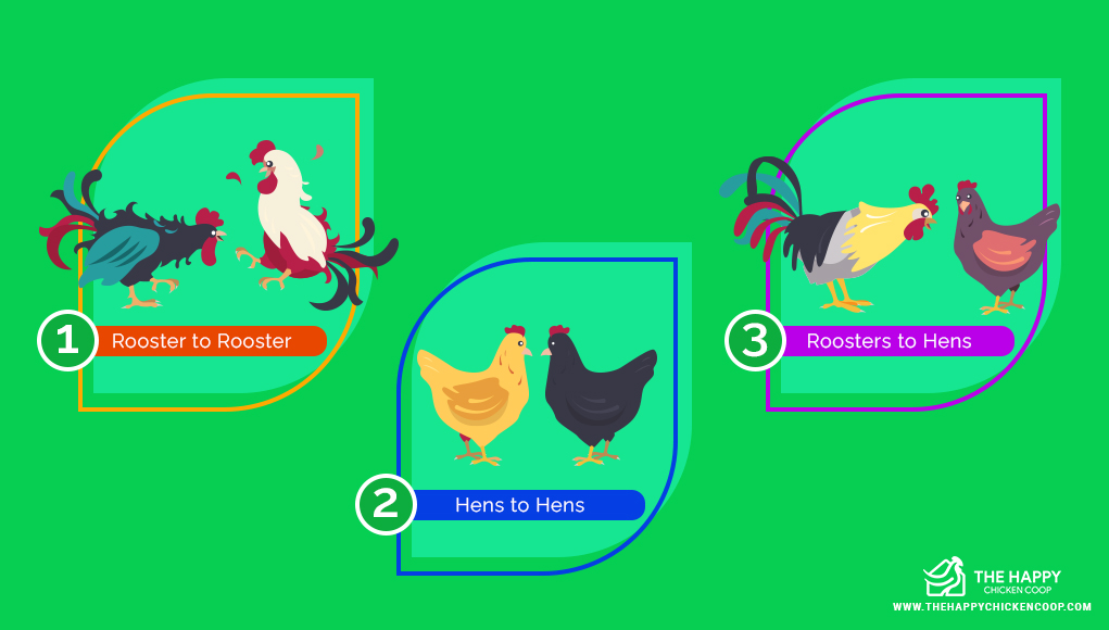 Pecking Order in Chickens