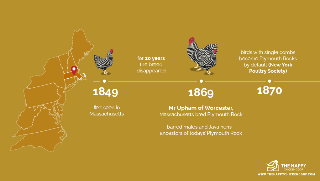 The Plymouth Rock Chicken