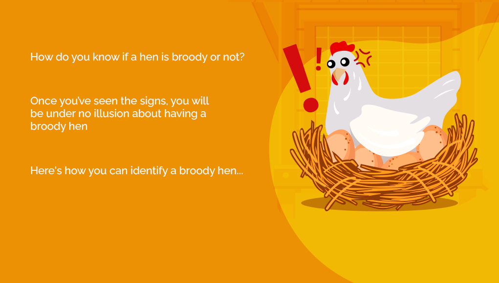 What Exactly Is a Broody Hen and How to Stop It