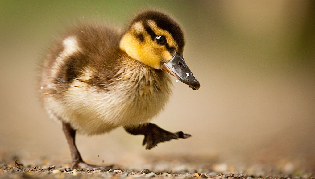 raising ducklings