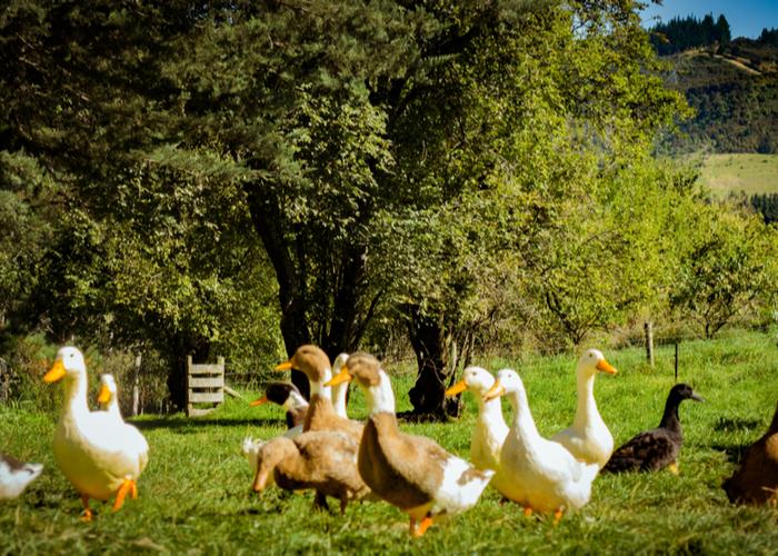 duck farm best books on raising ducks
