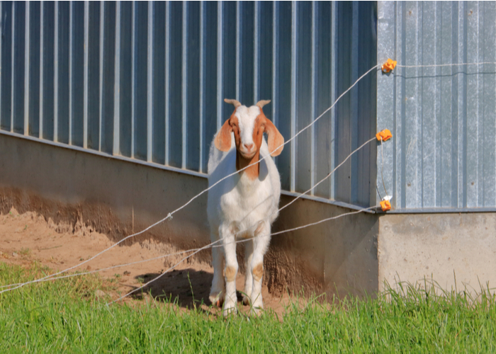electric fence for chickens and goats