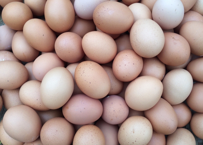 sumatra chicken eggs