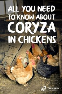 All You Need To Know About Coryza in Chickens