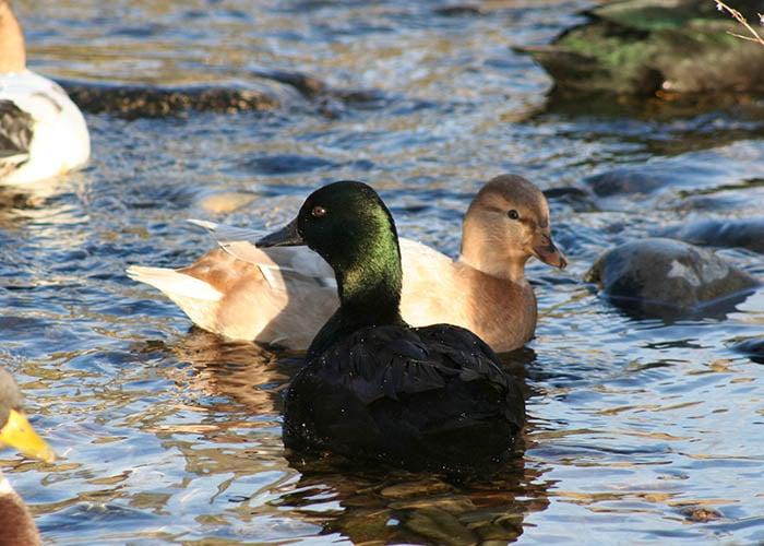 East Indie Duck Breed