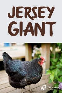 Jersey Giant