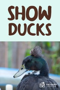 Show Ducks