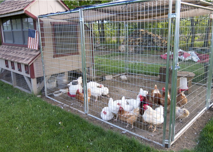 chickens for meat