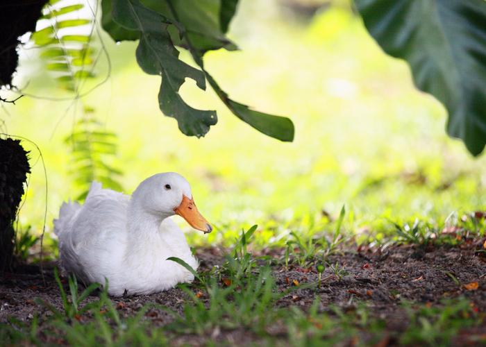 ducks in summer heat