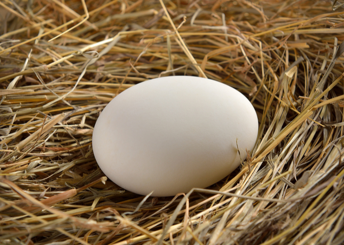 Rosecomb Chicken egg