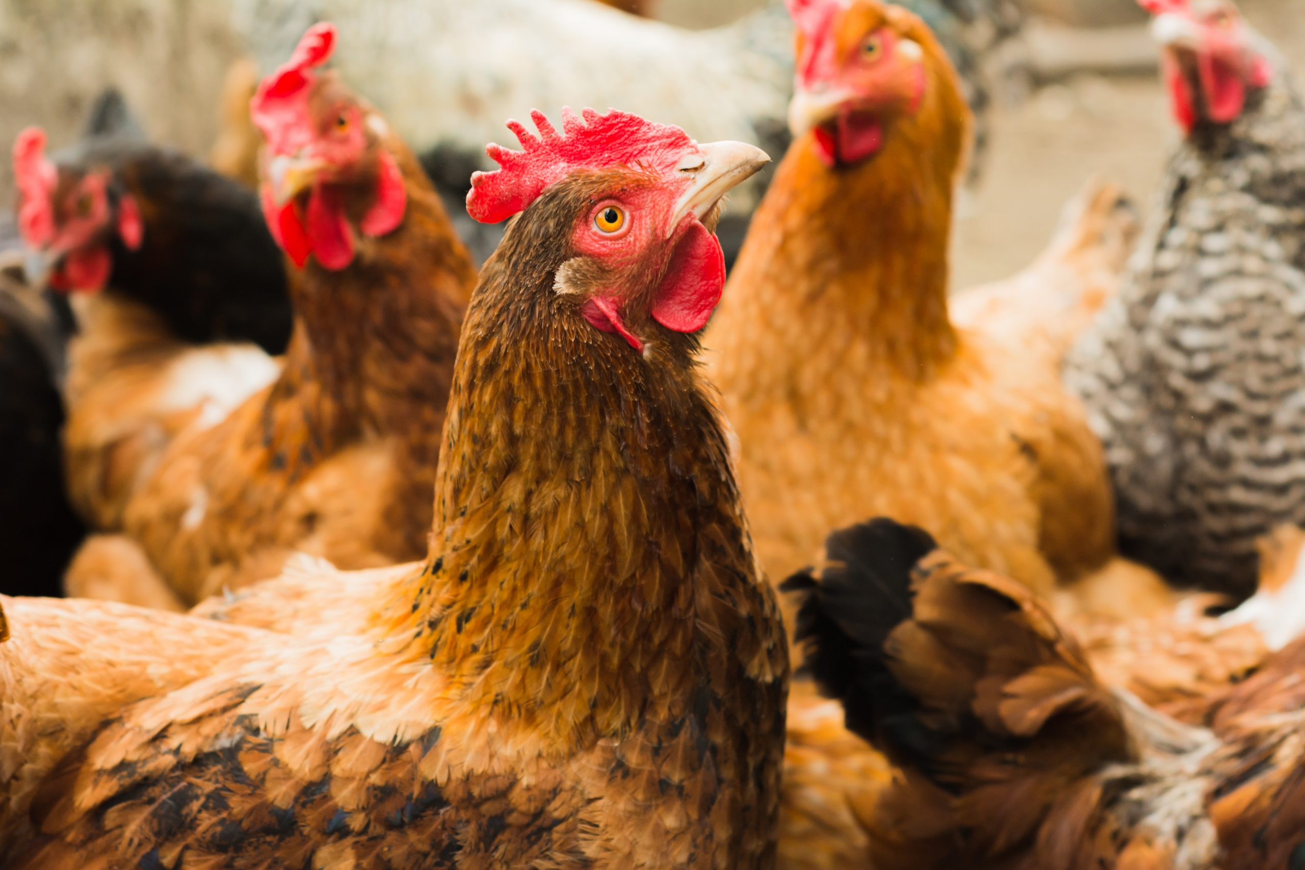 11 ways you can accidentally kill your chickens