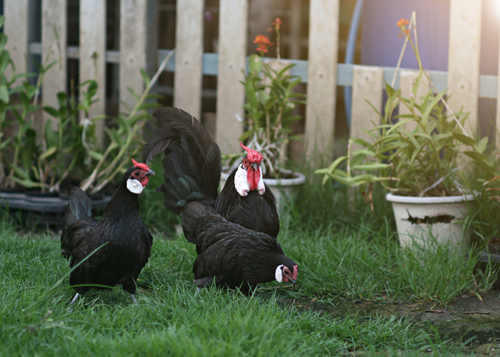 Rosecomb Chicken Breed