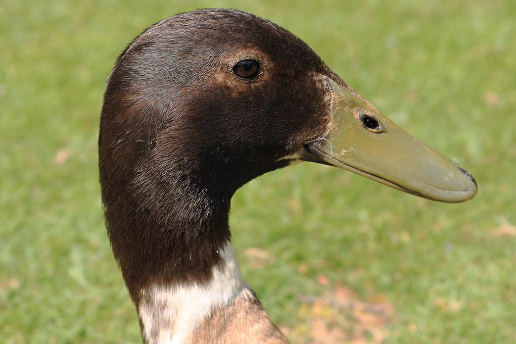 Abacot Duck Breed