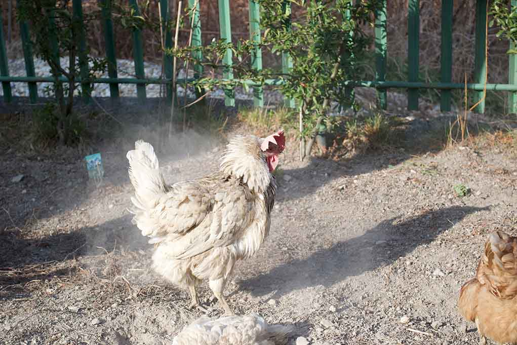 Diatomaceous Earth and chickens